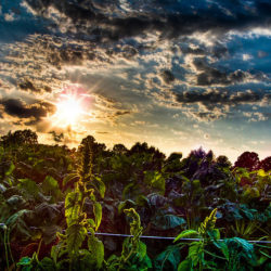 Vegetable garden at sunset.